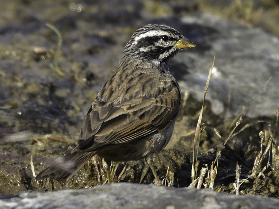 Striolated Bunting - Sandip Telang