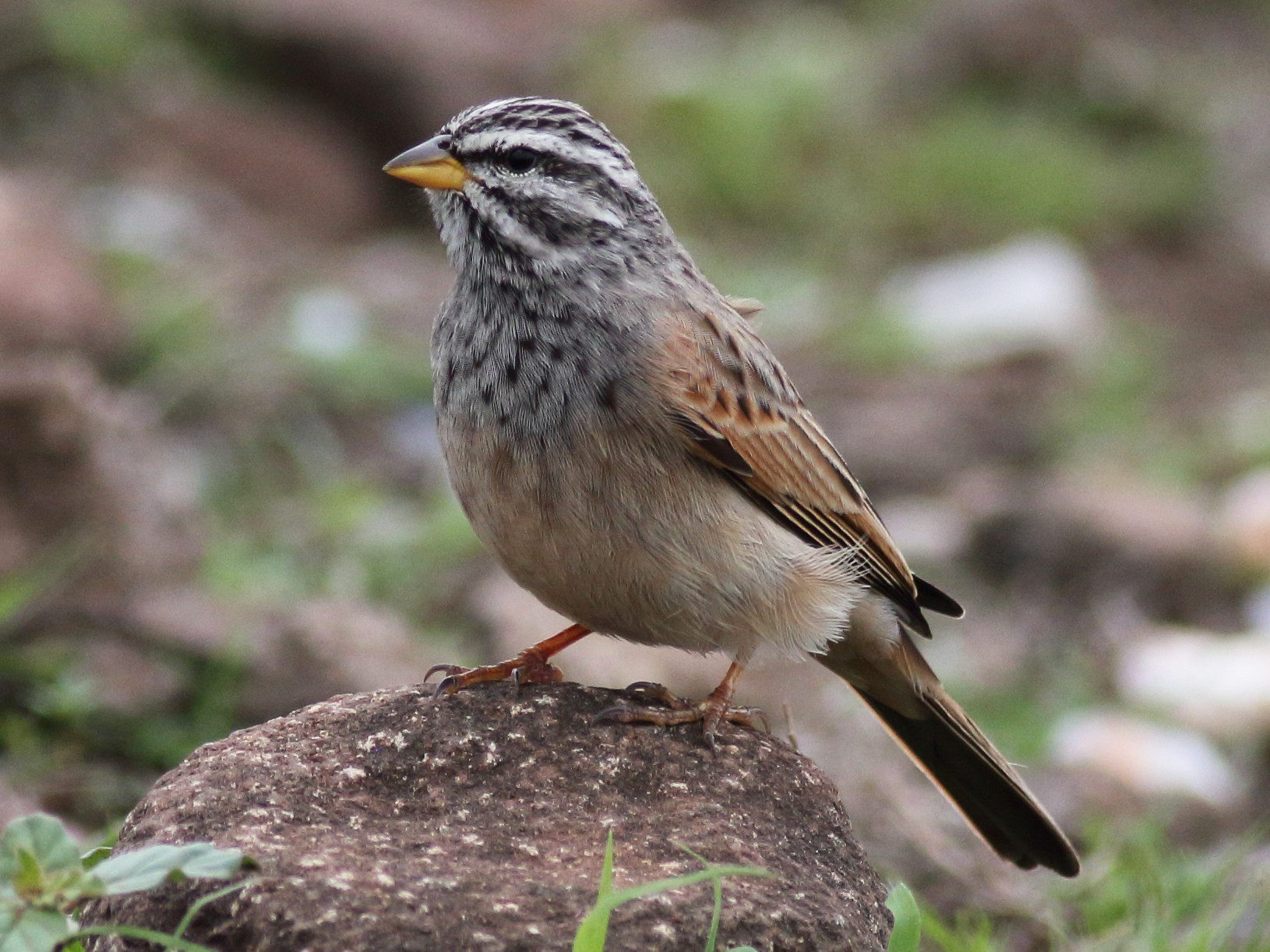 Striolated Bunting - Chinmay Rahane