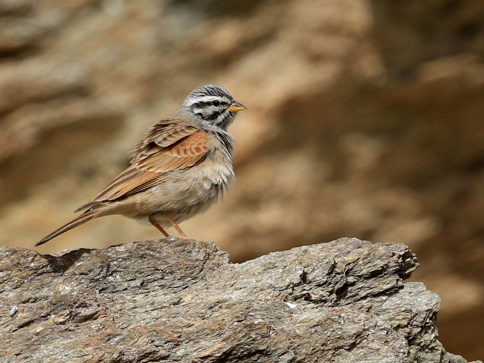 Striolated Bunting - Patrick MONNEY