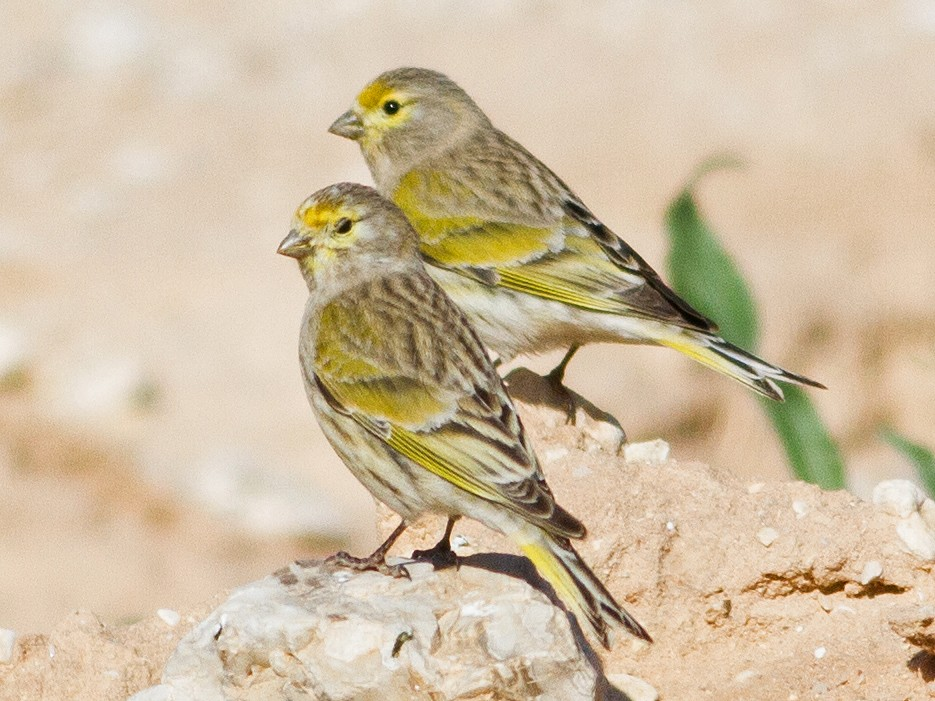 Syrian Serin - Oded Ovadia