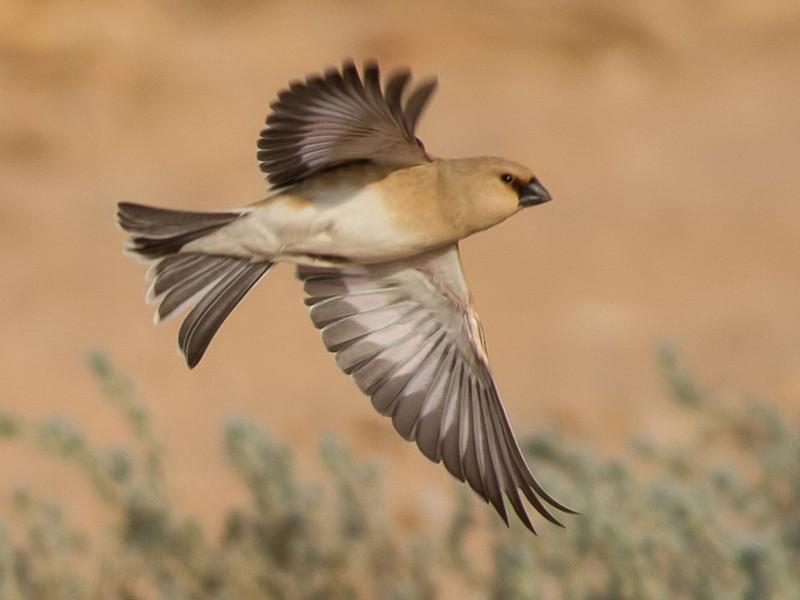 Desert Finch - Rei Segali