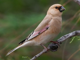 - Desert Finch