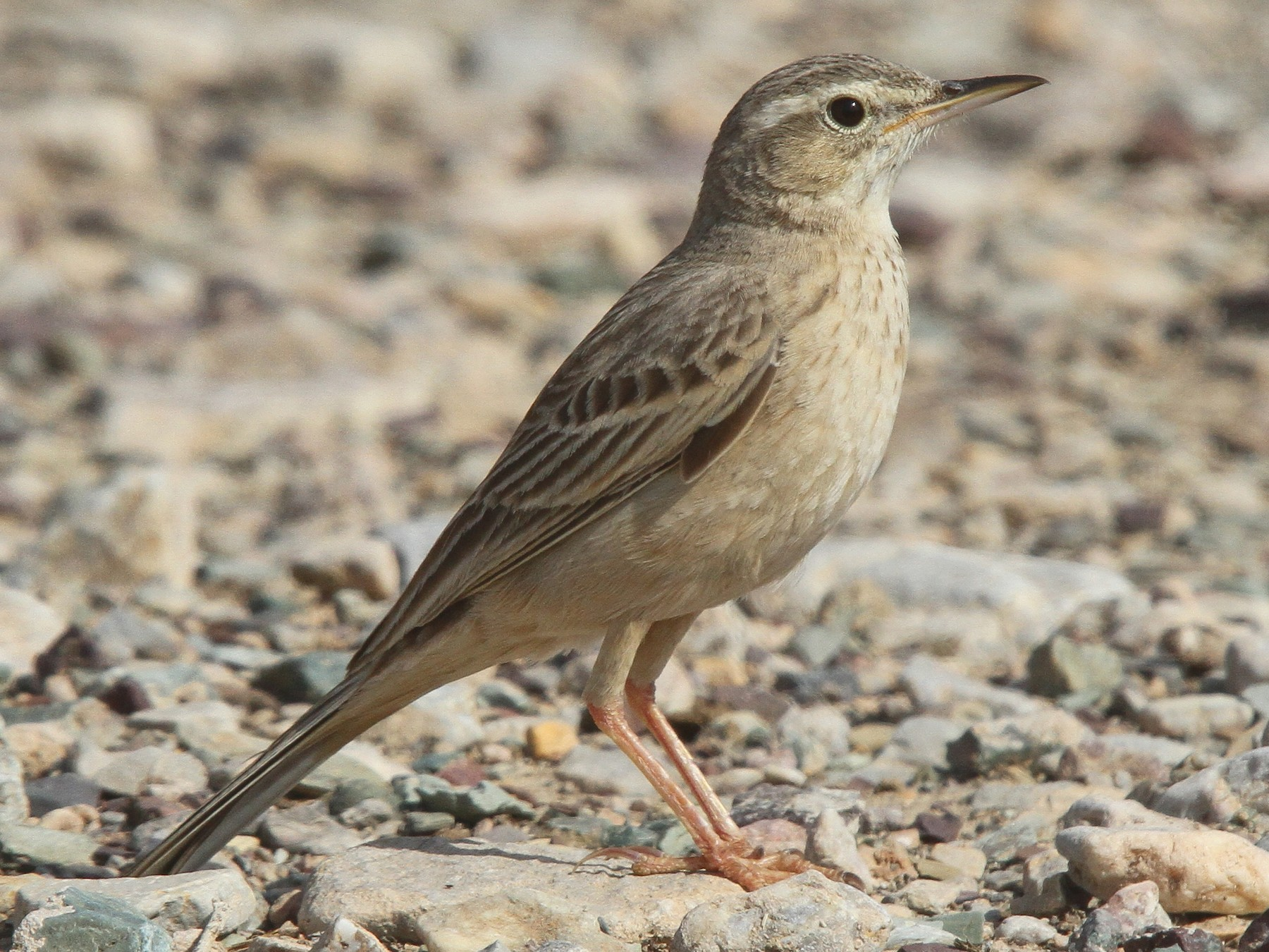 Long-billed Pipit - Clive Temple