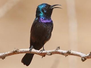 - Palestine Sunbird