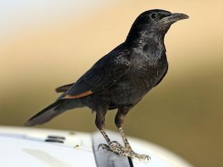 - Tristram's Starling