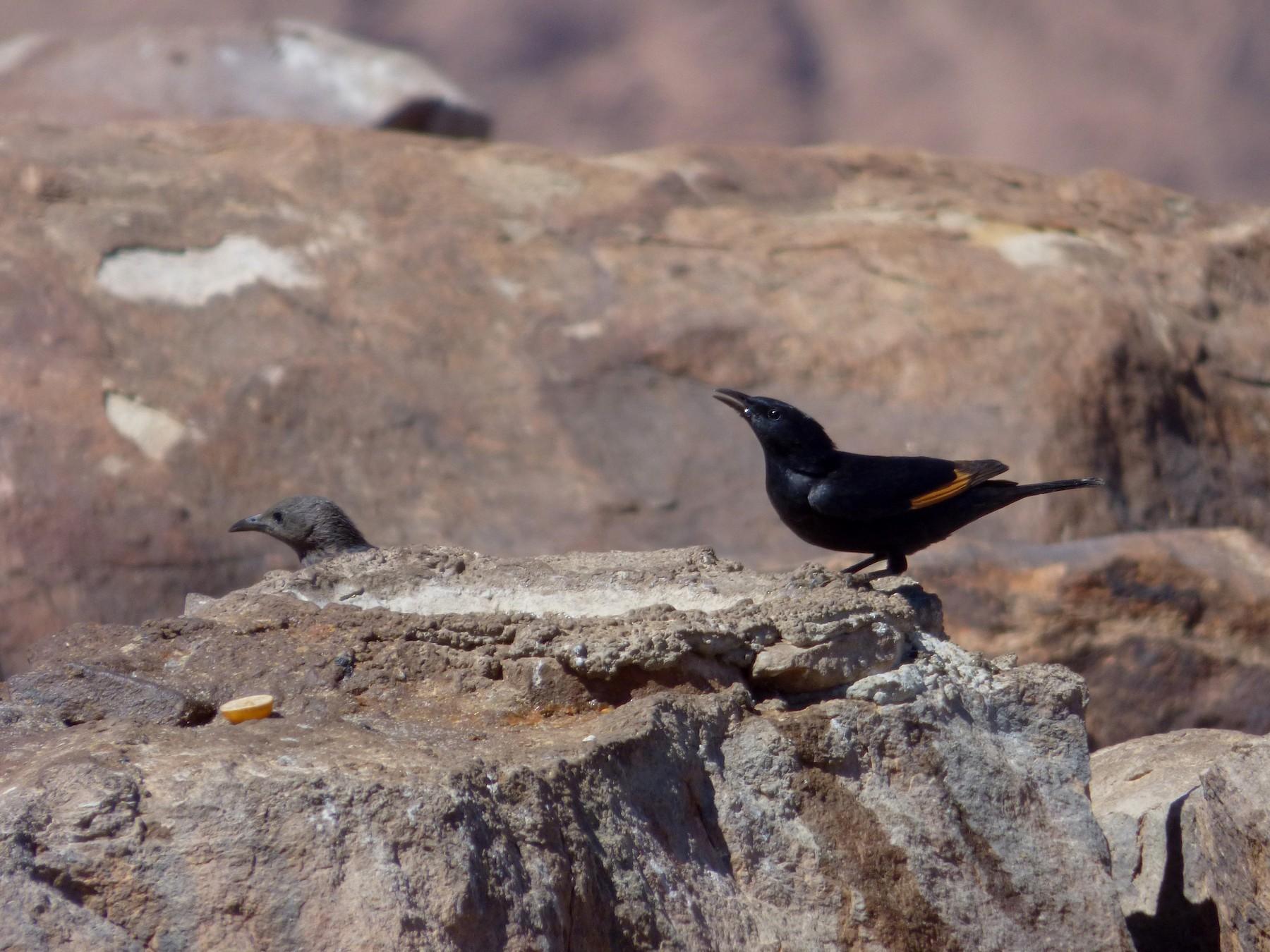 Tristram's Starling - Pedro Moreira