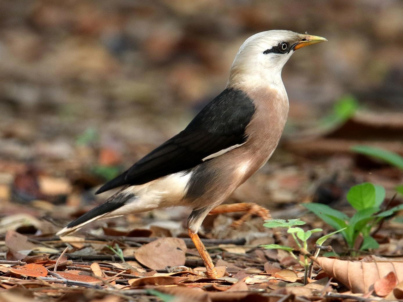 Vinous-breasted Starling - BC Heng