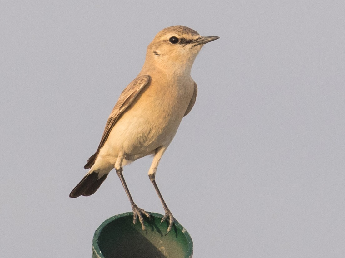 Isabelline Wheatear - James Kennerley 🦄