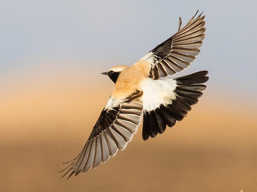 Desert Wheatear - Liron Gertsman