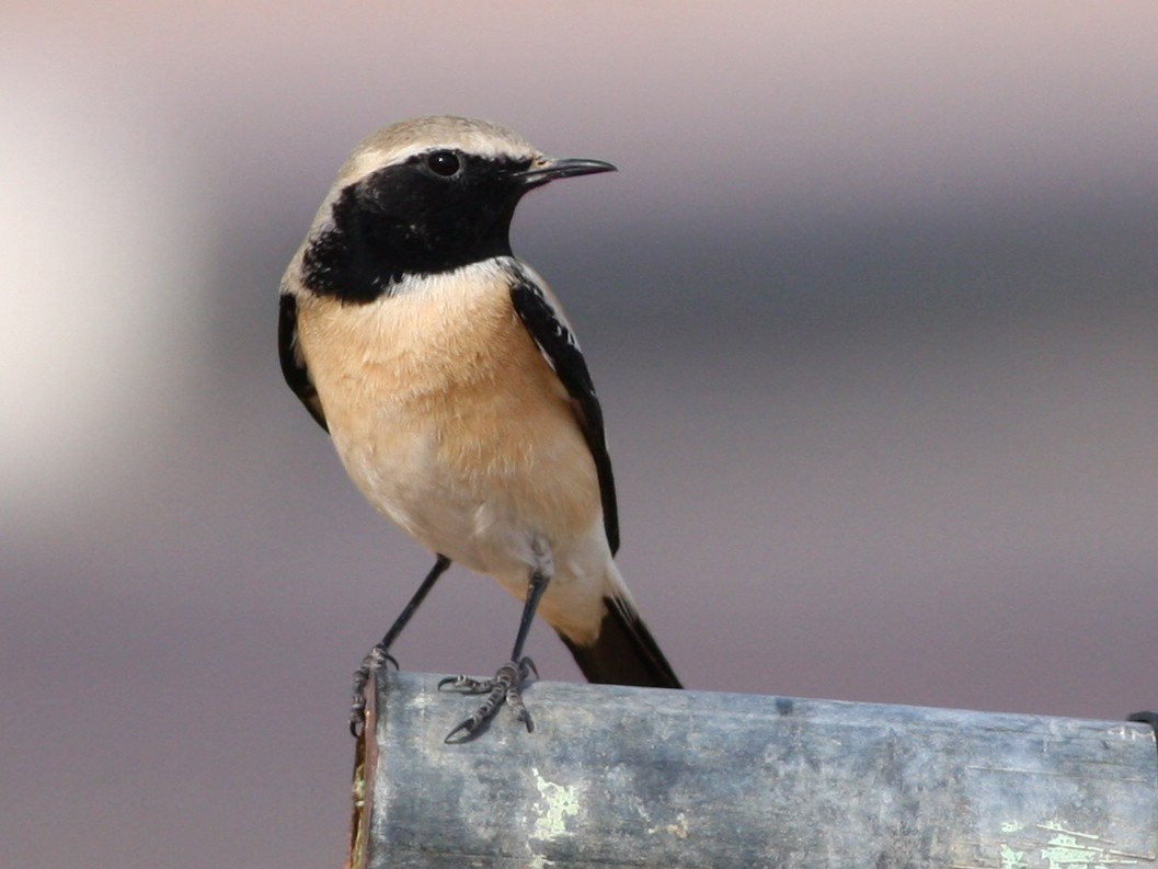 Desert Wheatear - Christoph Moning