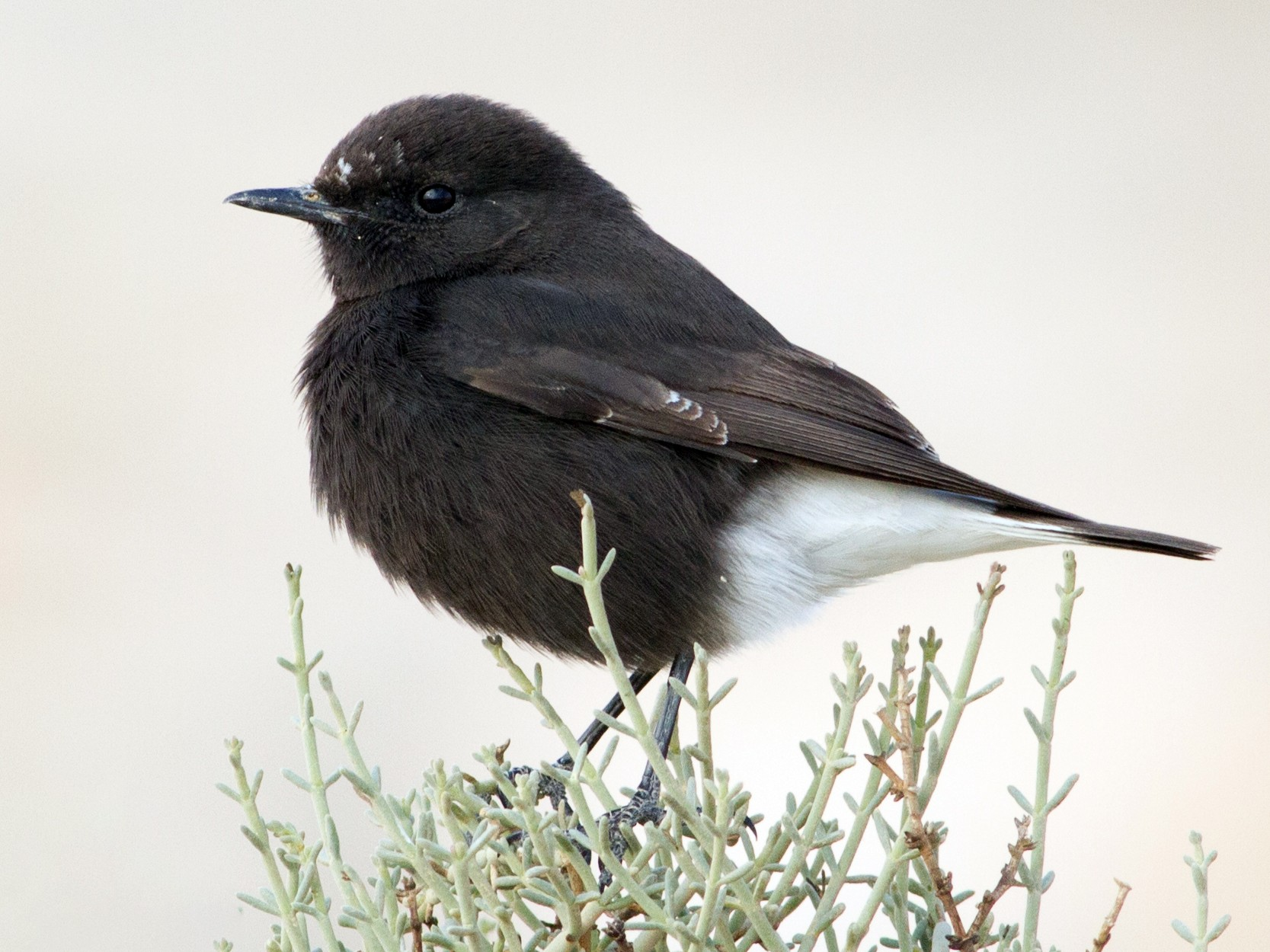 Mourning Wheatear - Oded Ovadia