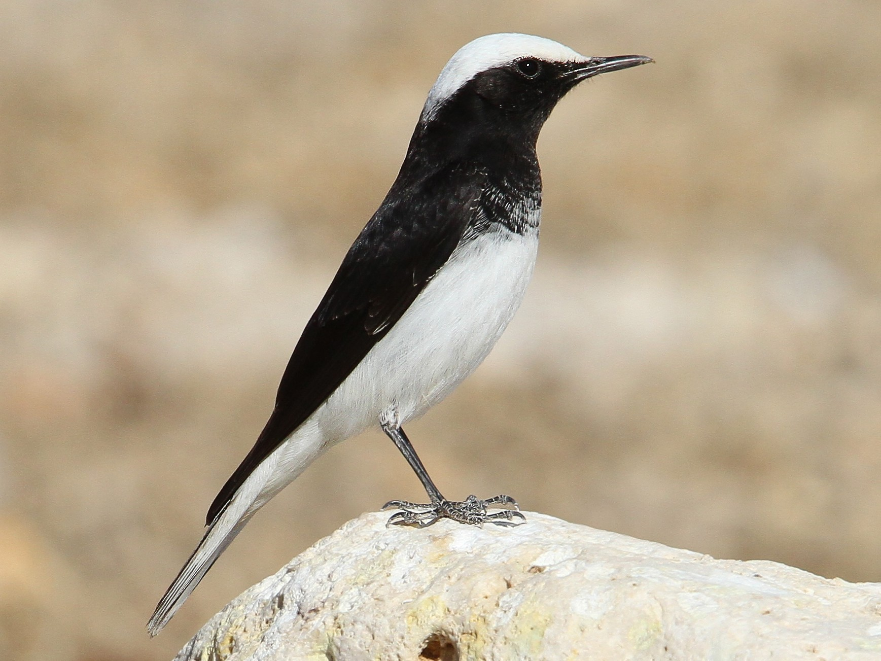 Hooded Wheatear - Christoph Moning