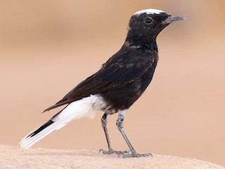 - White-crowned Wheatear