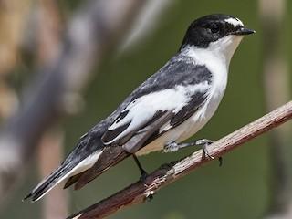 - Semicollared Flycatcher