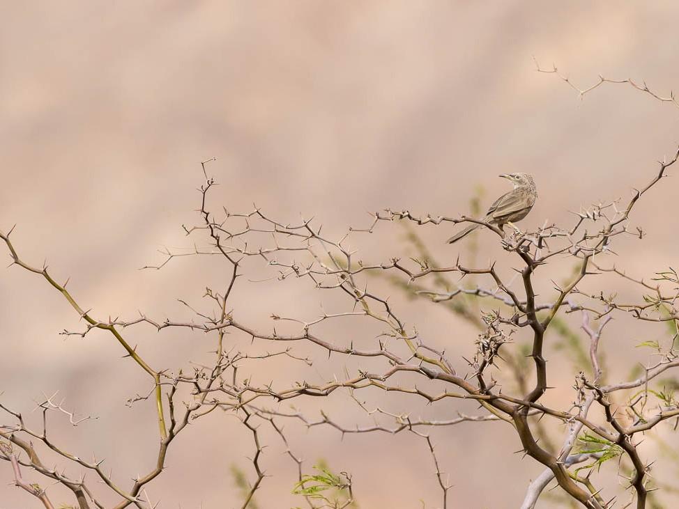Arabian Babbler - Honza Grünwald