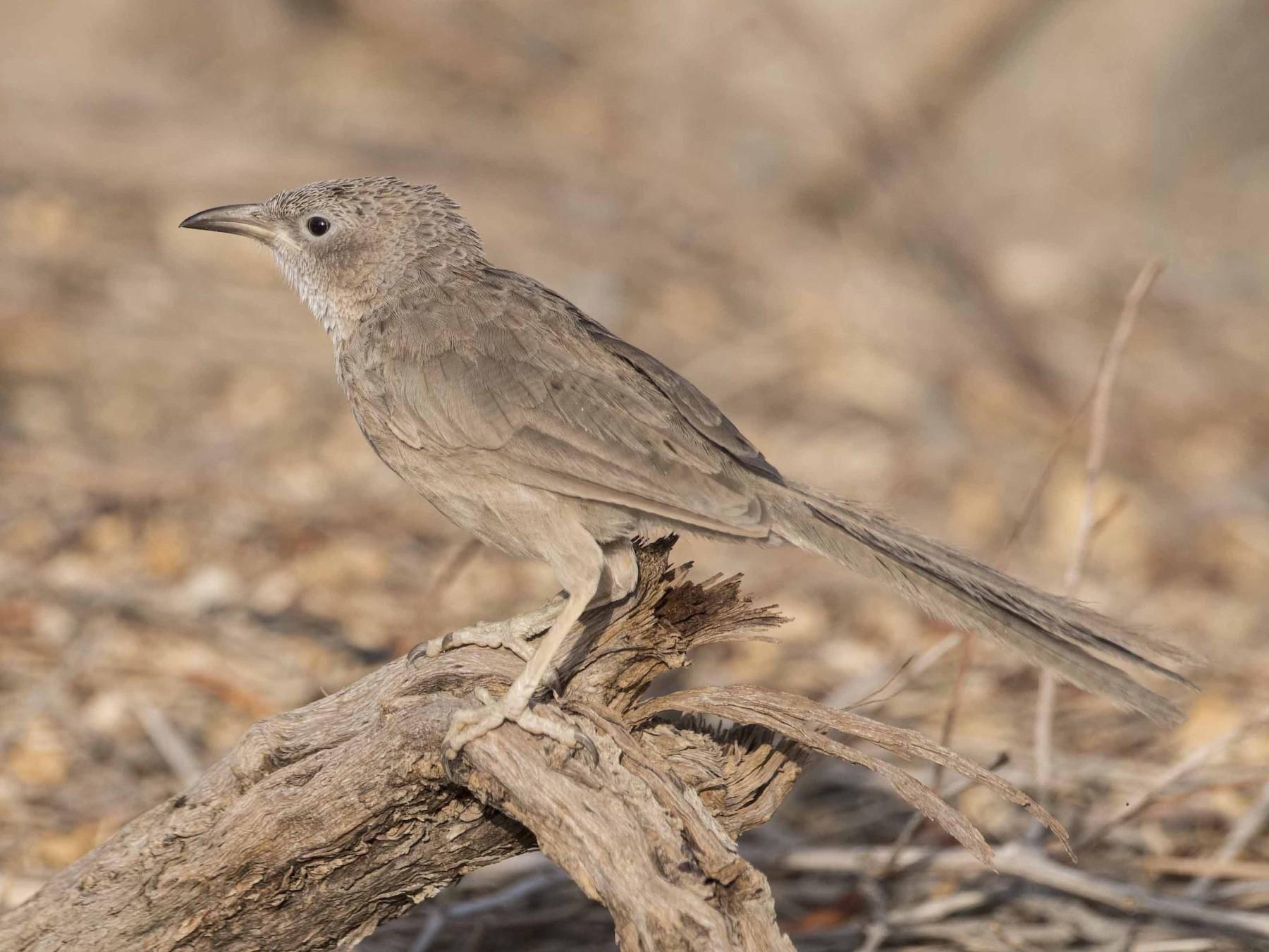 Arabian Babbler - Huw Roberts
