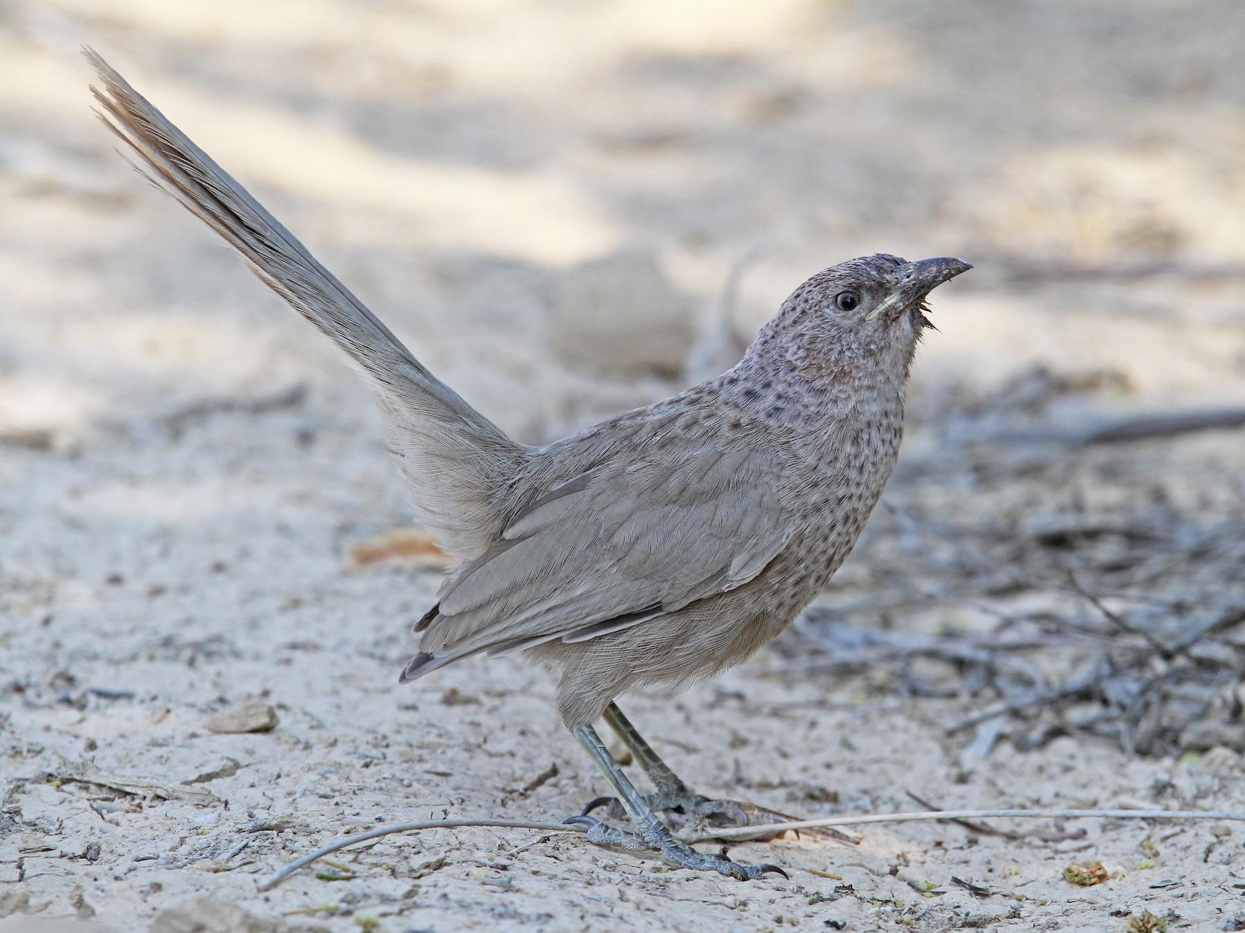 Arabian Babbler - Christoph Moning