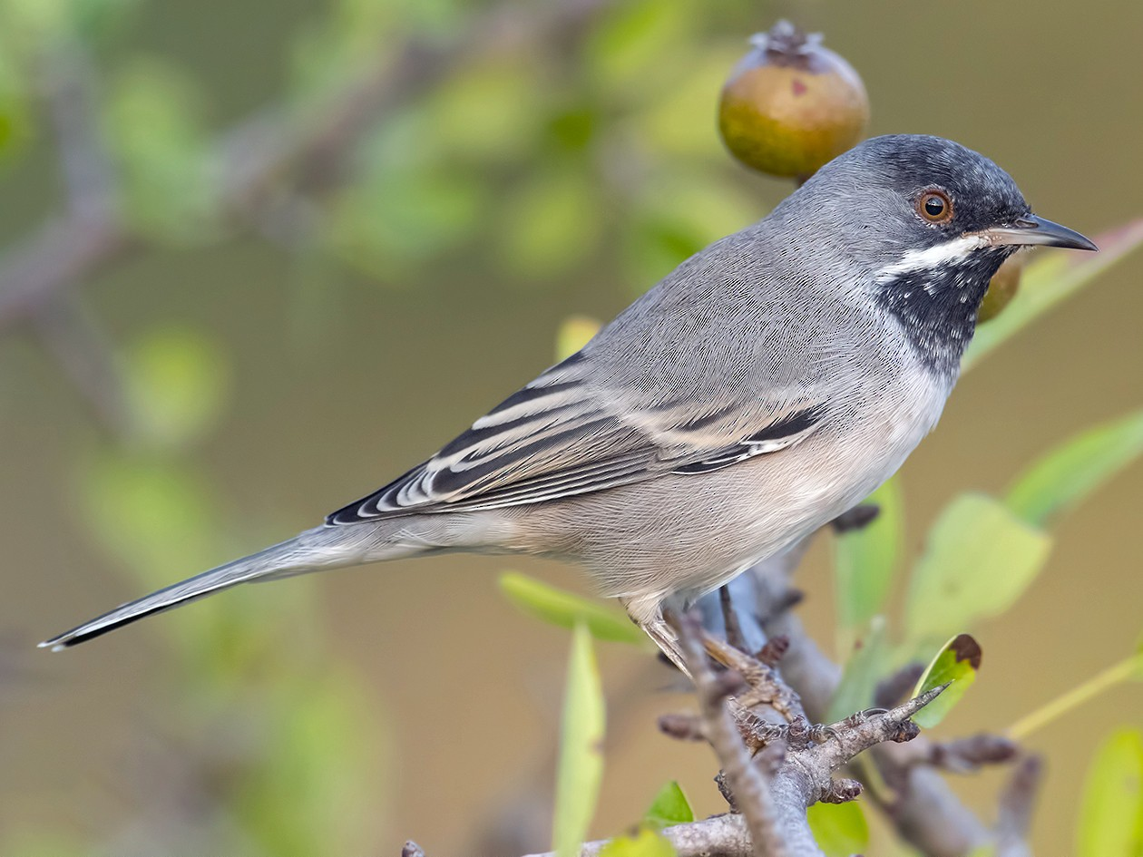 Rüppell's Warbler - Ferit Başbuğ