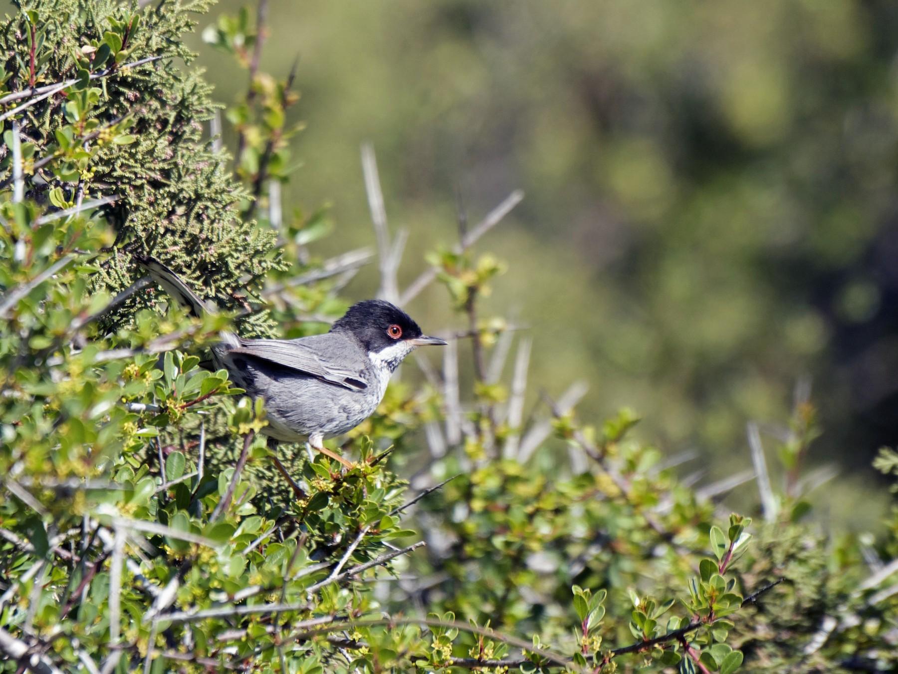 Cyprus Warbler - Aidan Place