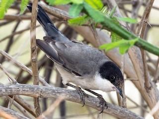 - Eastern Orphean Warbler