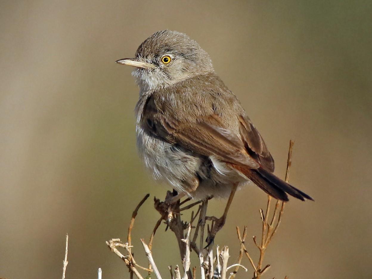 Asian Desert Warbler - Jeremiah Trimble
