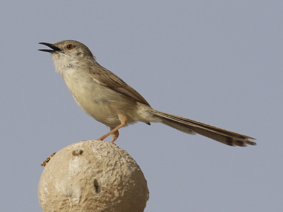 Graceful Prinia - Laurent Esselen