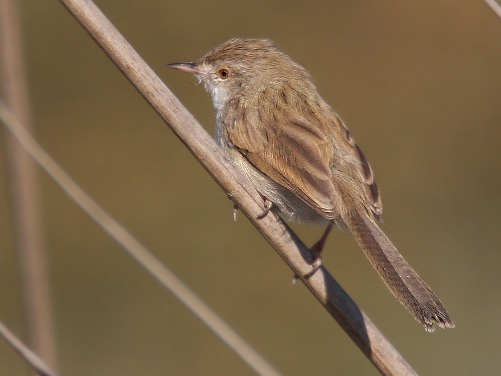 Graceful Prinia - Christoph Moning
