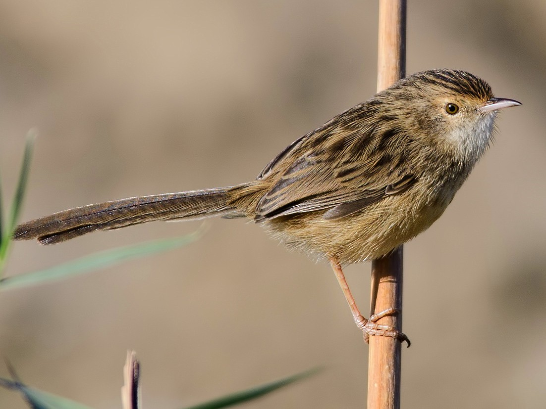 Graceful Prinia - Mustafa Özdemir