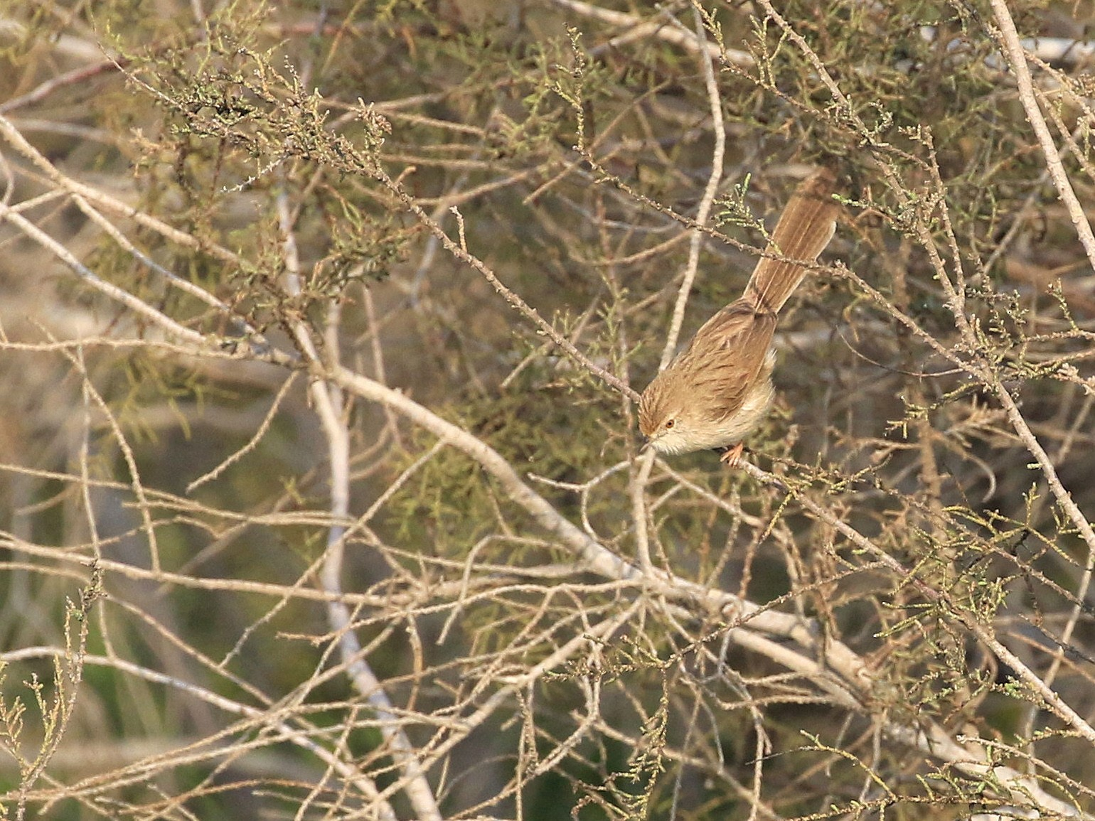 Graceful Prinia - Patrick MONNEY