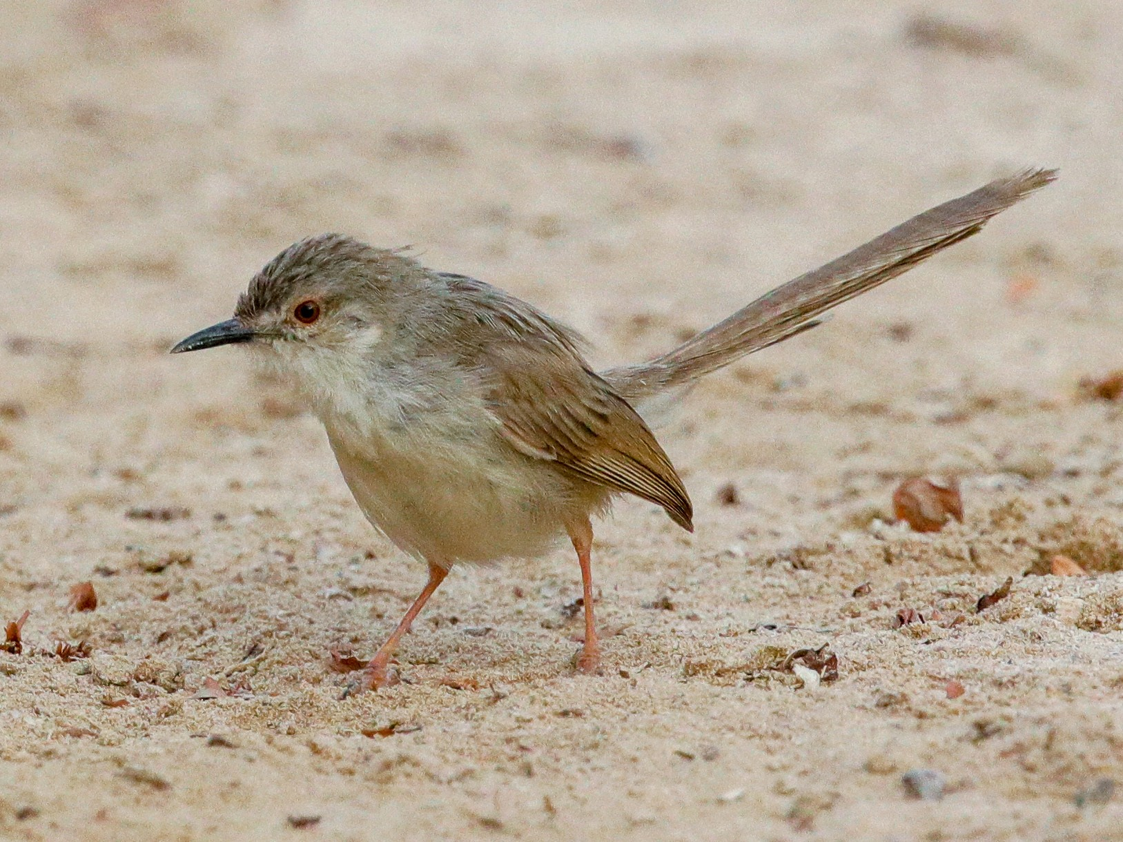 Graceful Prinia - Tommy Pedersen
