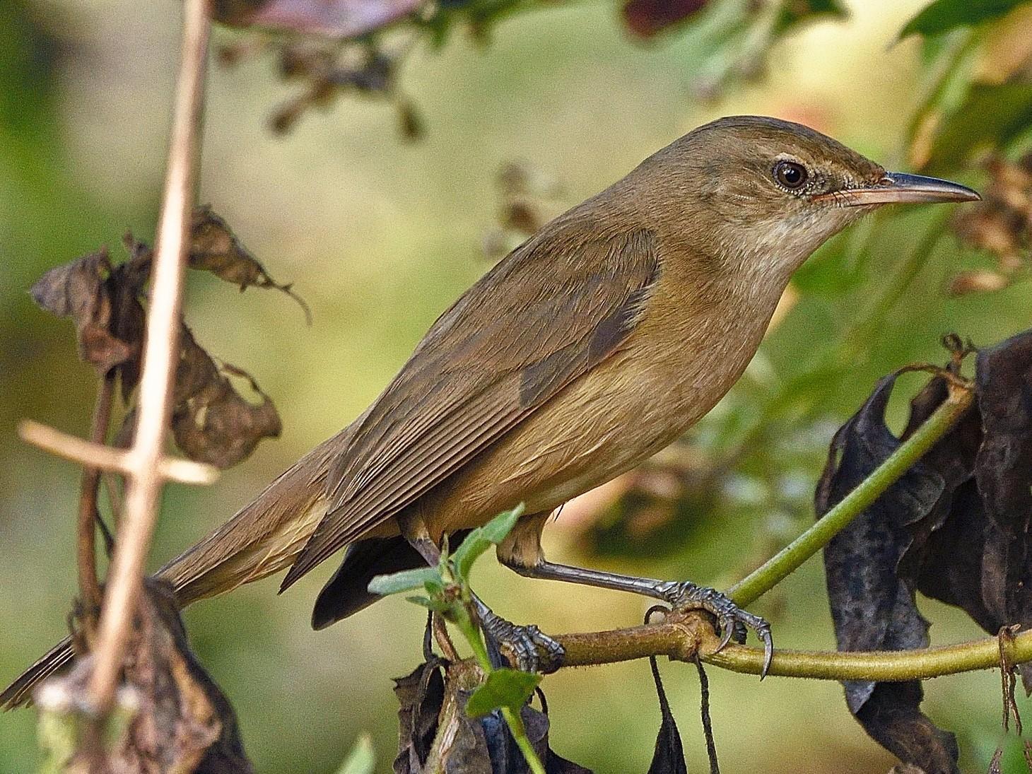 Clamorous Reed Warbler - Arun Prabhu