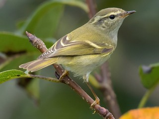 - Hume's Warbler