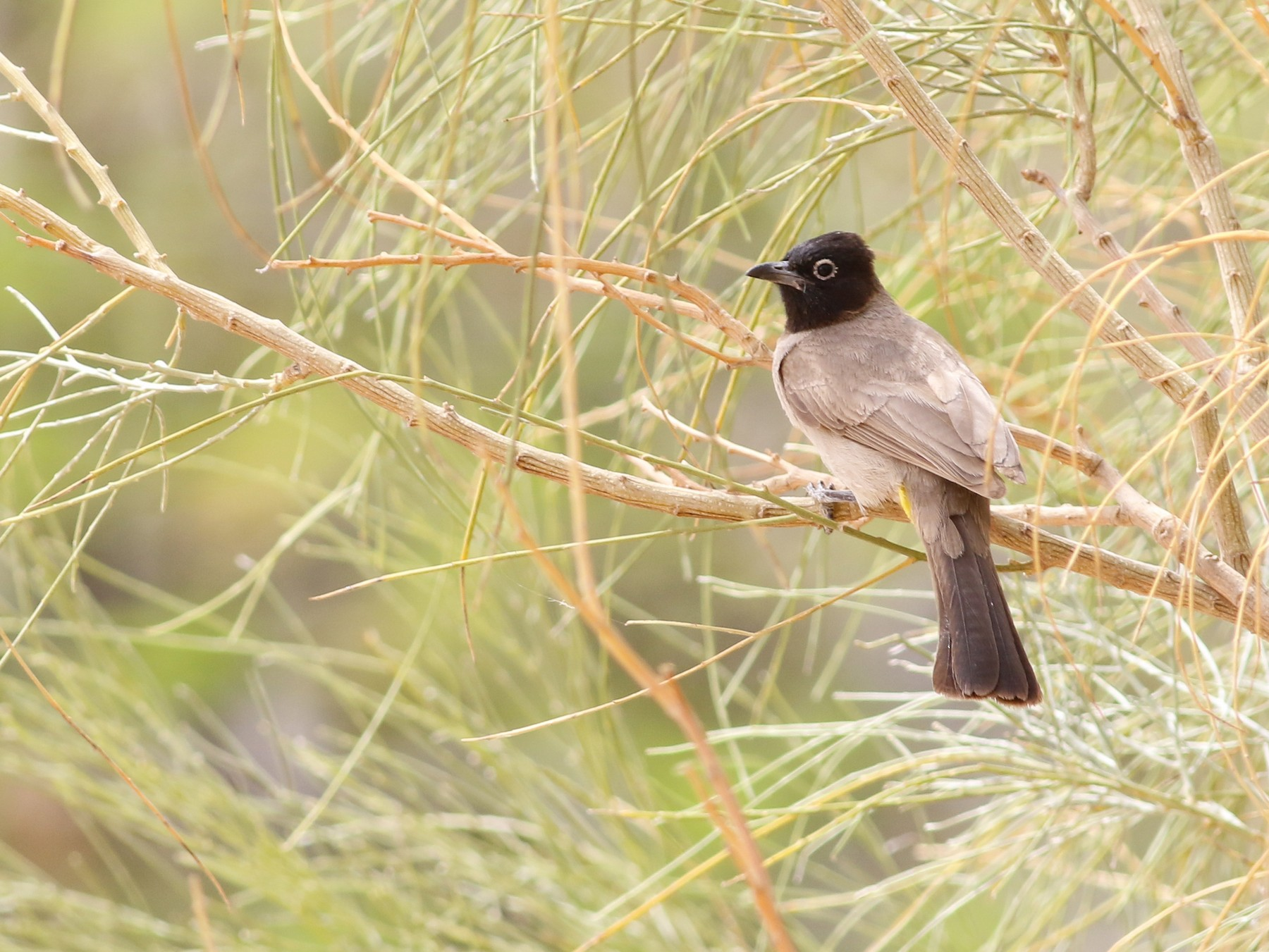 White-spectacled Bulbul - Tom Reed
