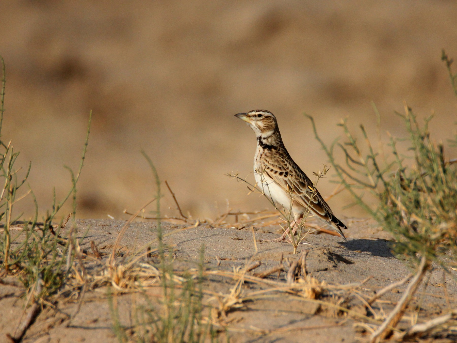 Bimaculated Lark - Amol Bapat