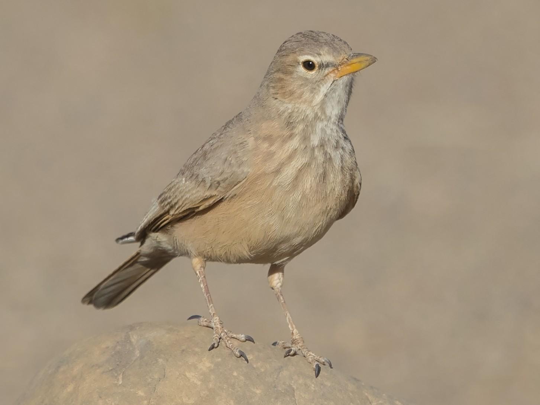Desert Lark - Niall D Perrins
