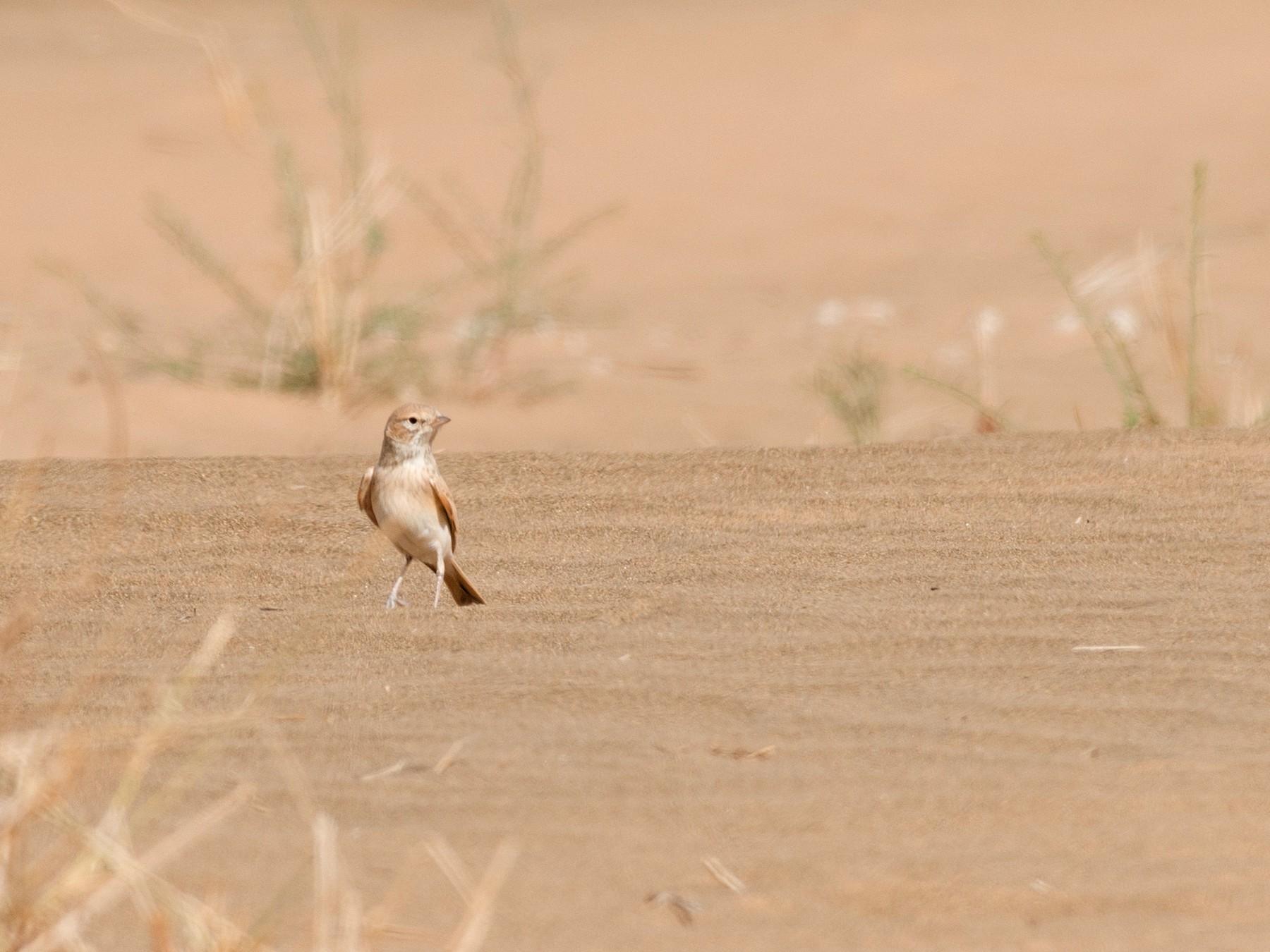 Bar-tailed Lark - John C. Mittermeier