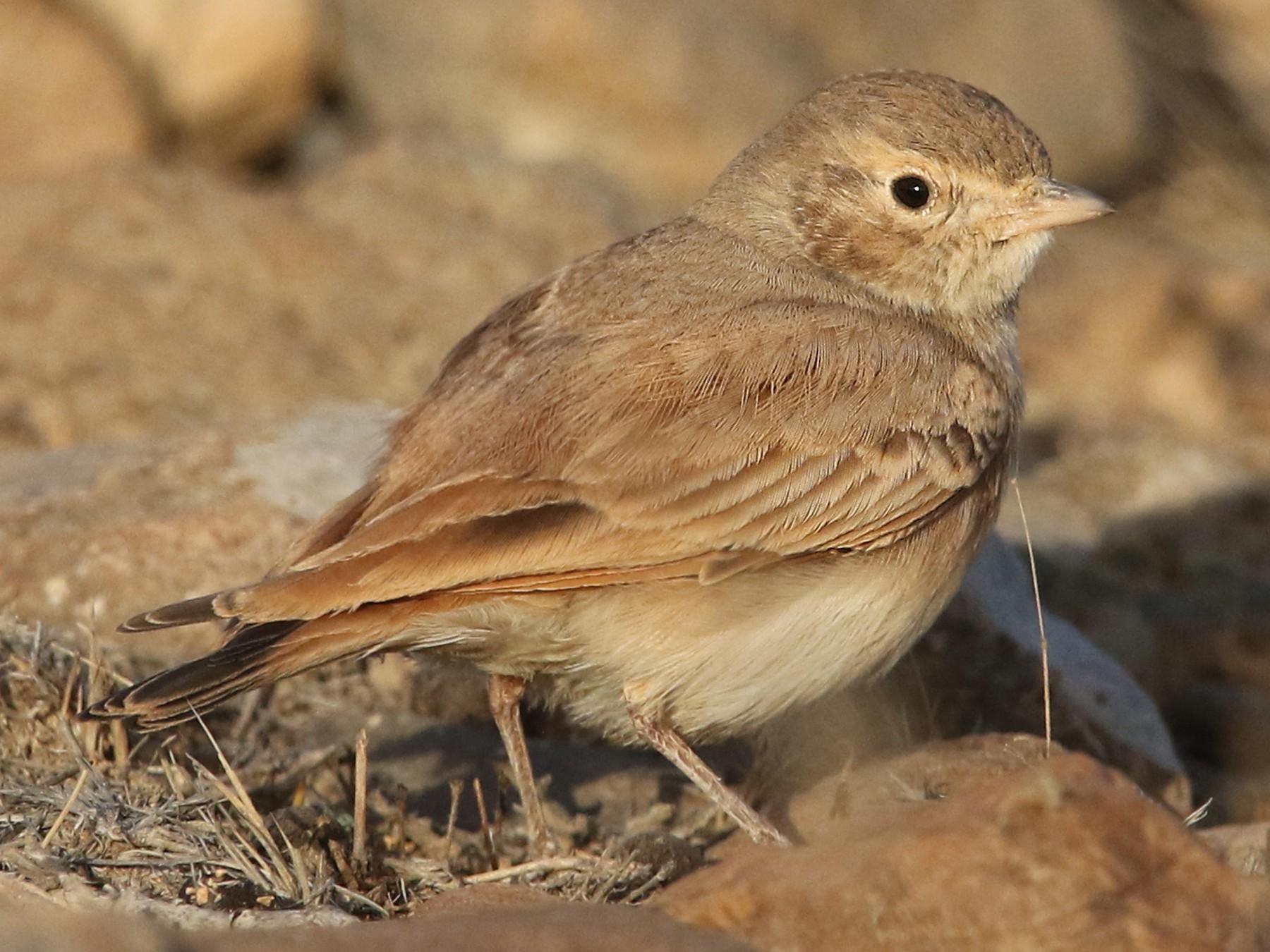 Bar-tailed Lark - Volker Hesse