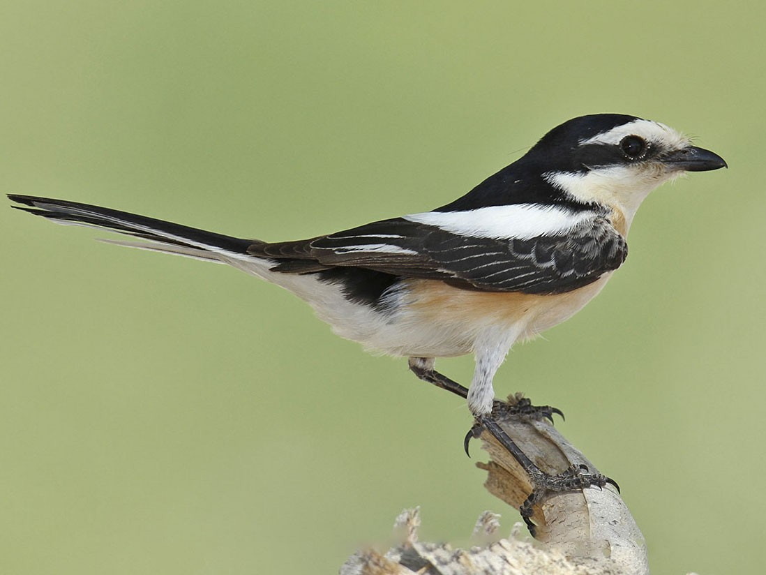 Masked Shrike - Jens Eriksen
