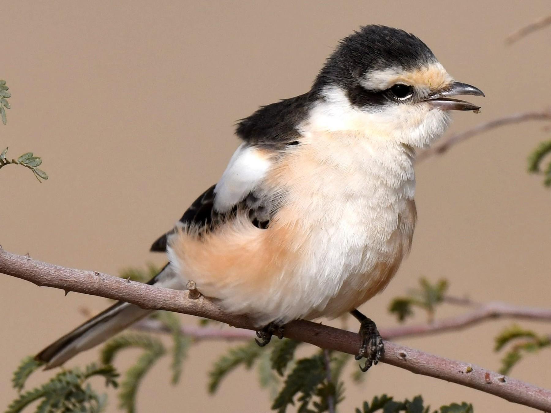 Masked Shrike - AREF ALAWADHI