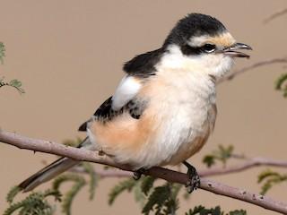 - Masked Shrike