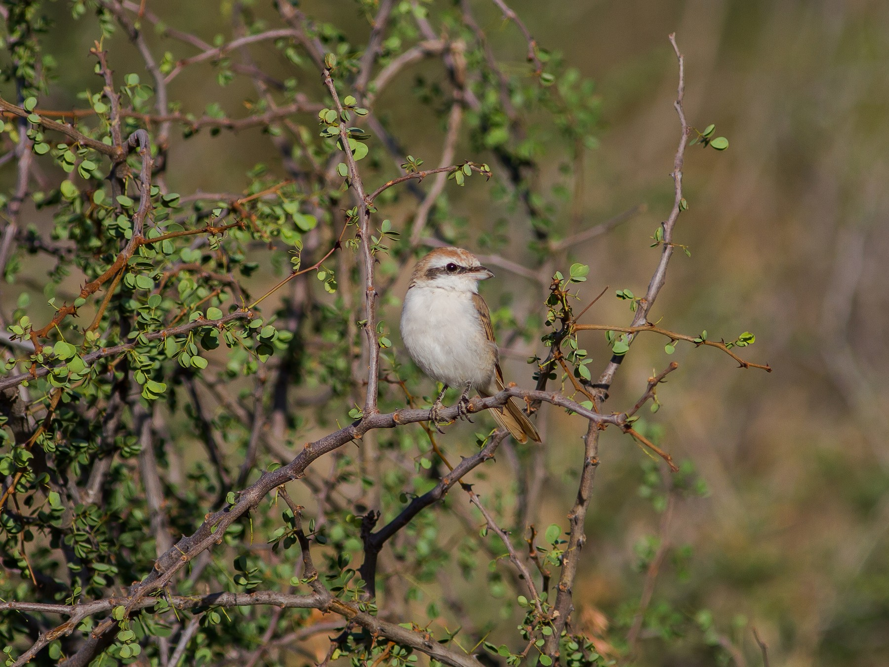 Isabelline Shrike - Chris Sayers