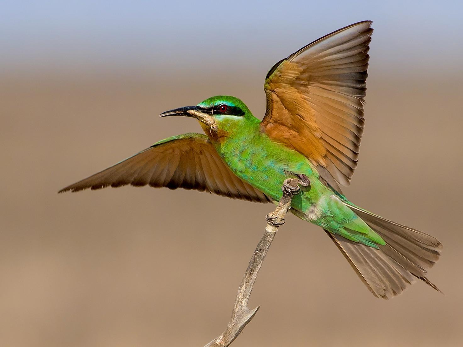Blue-cheeked Bee-eater - Abdul Saleem