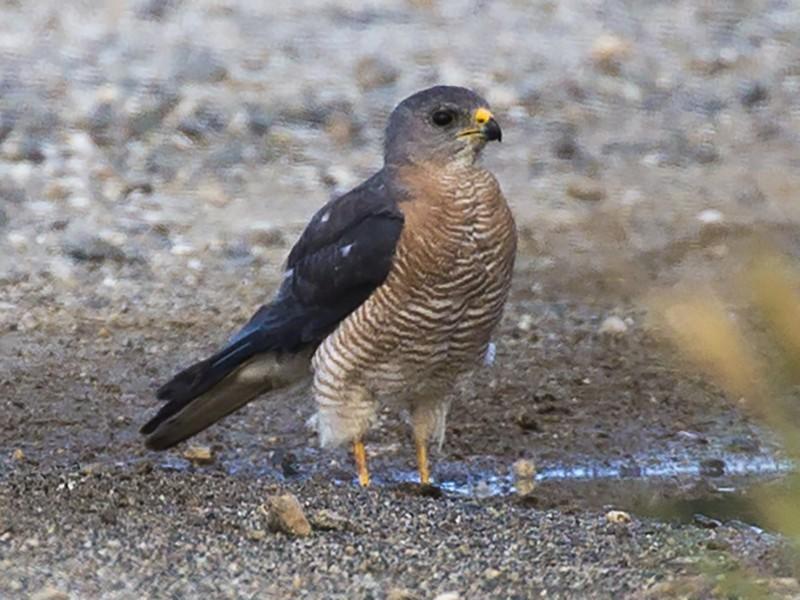 Levant Sparrowhawk - Panayotis Pantzartzidis