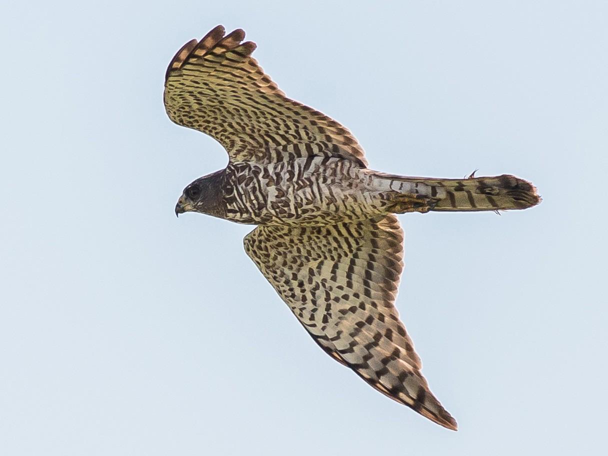 Levant Sparrowhawk - Antero Topp