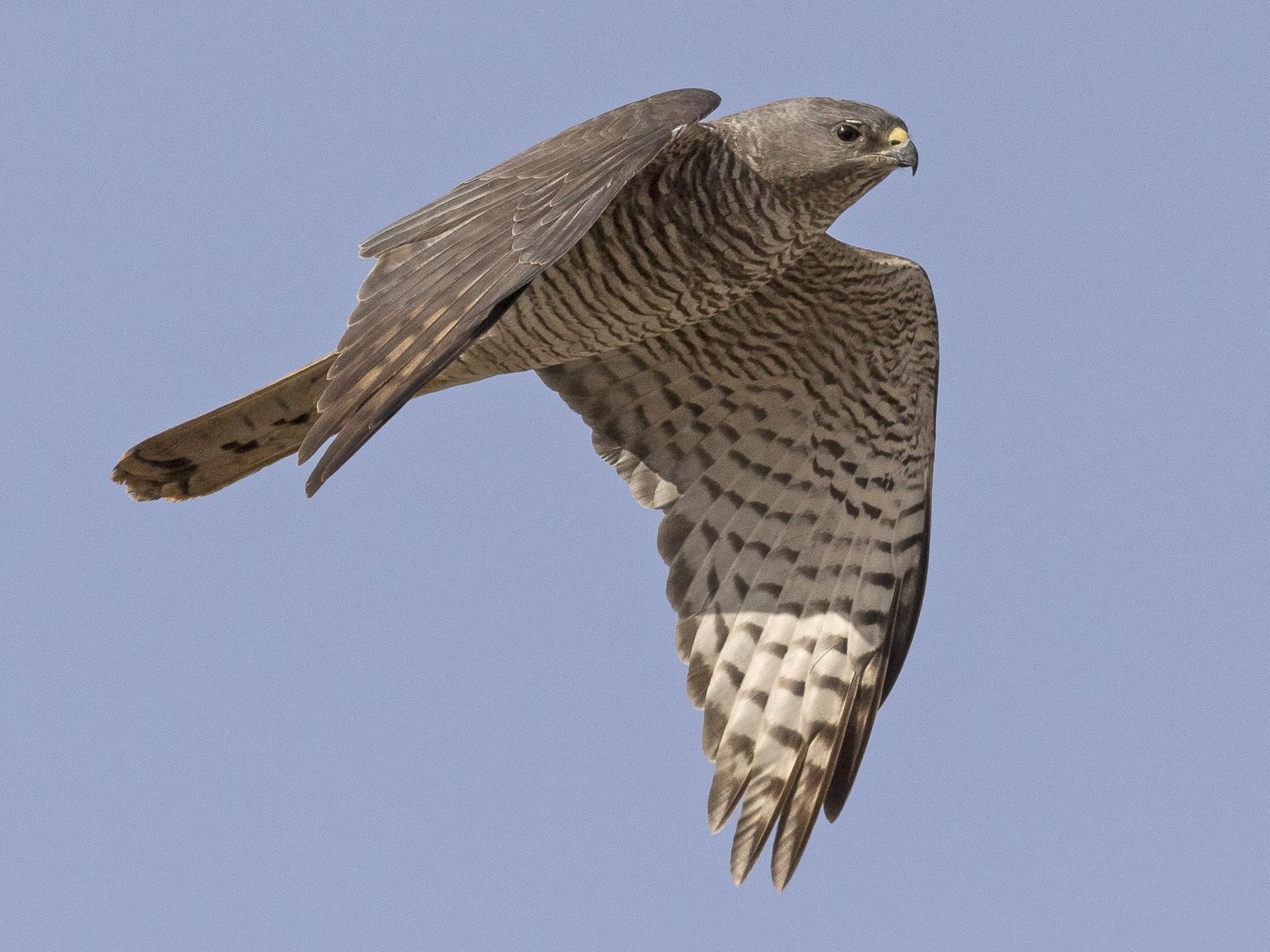 Levant Sparrowhawk - Jacob Drucker