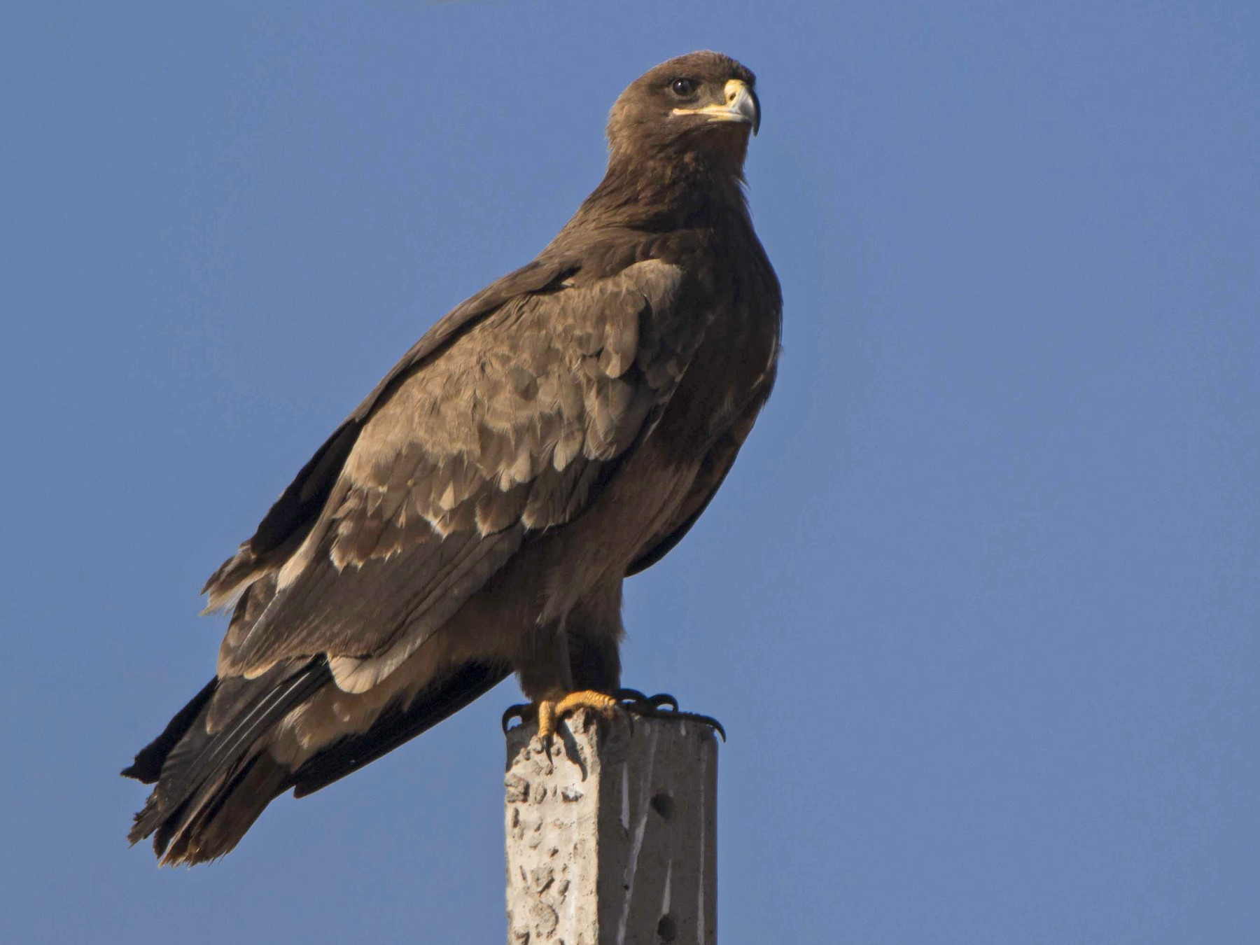 Steppe Eagle - Rohit Hirway