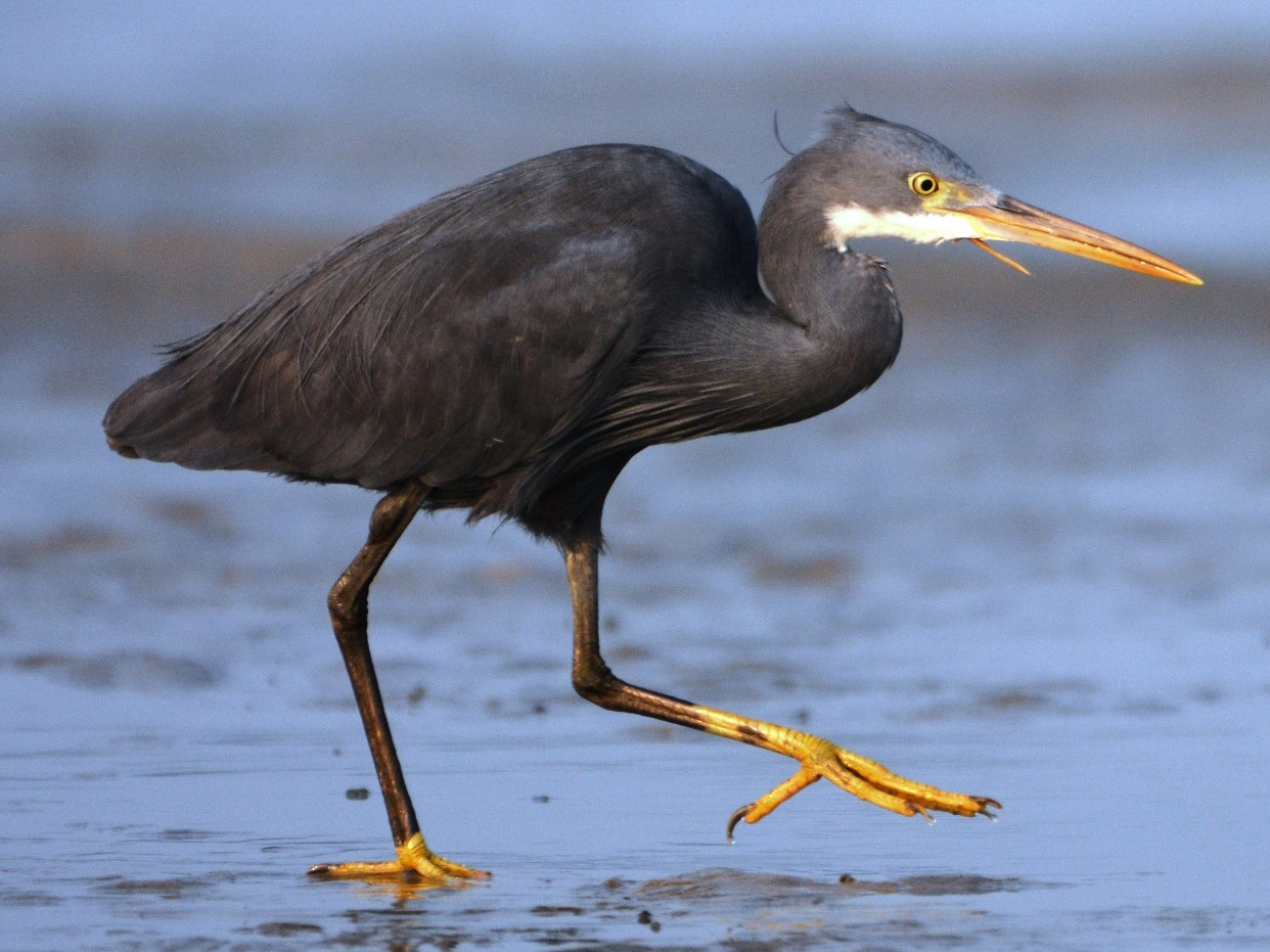 Western Reef-Heron - Mohandas Giriyappa