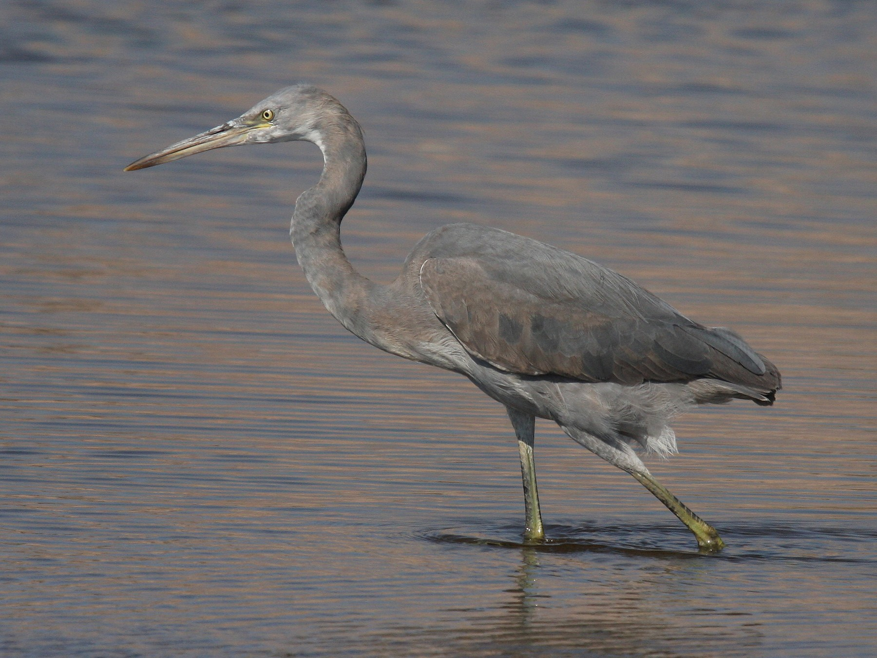 Western Reef-Heron - Christoph Moning