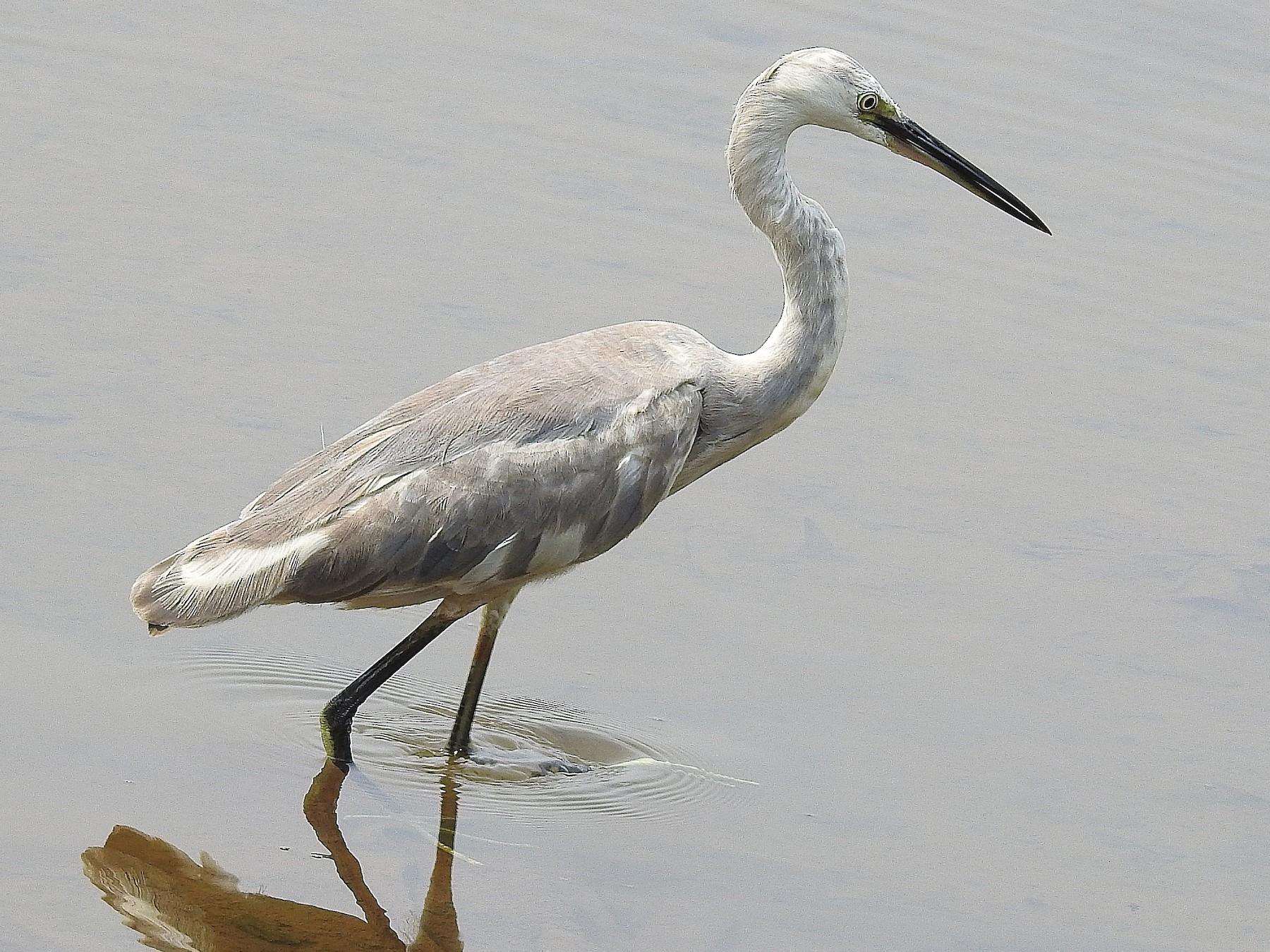 Western Reef-Heron - Afsar Nayakkan