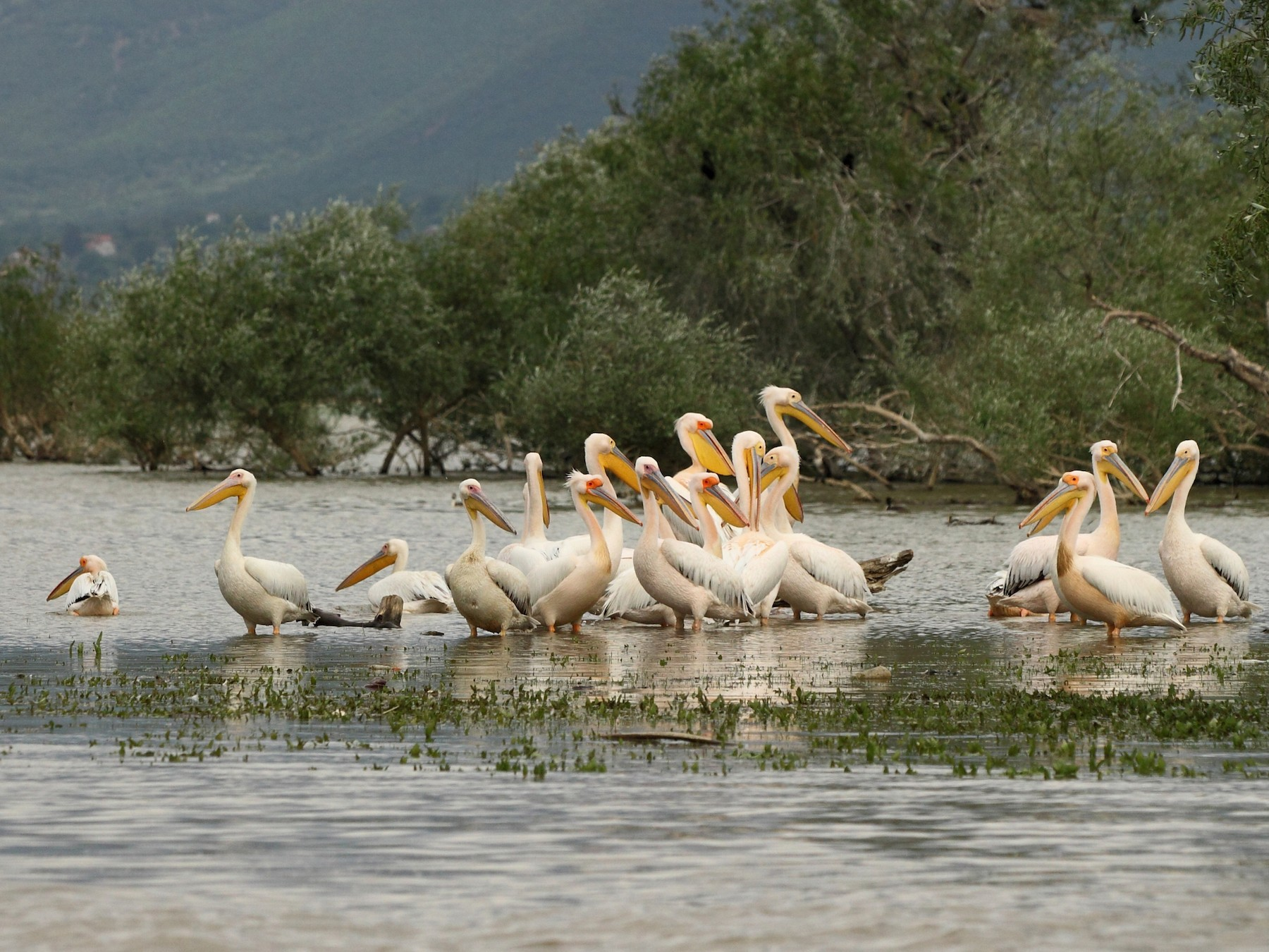 Great White Pelican - Simeon Gigov